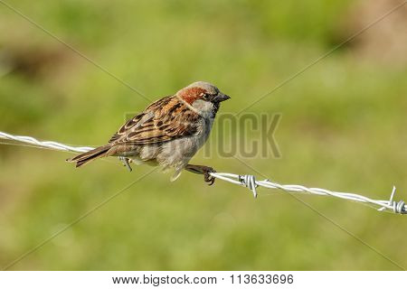 Male House Sparrow (passer Domesticus)