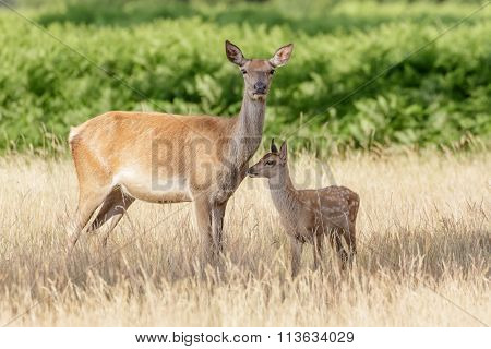 Red Deer (cervus Elaphus) Calf With Mother