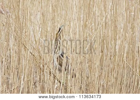 Great Bittern (botaurus Stellaris) In The Reeds