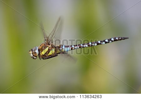 Male Migrant Hawker (aeshna Mixta)