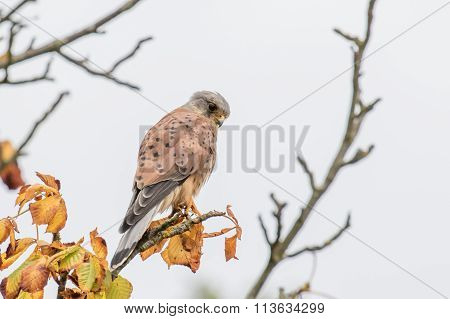 Male Common Kestrel (falco Tinnunculus)