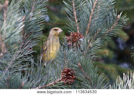European Greenfinch (chloris Chloris)