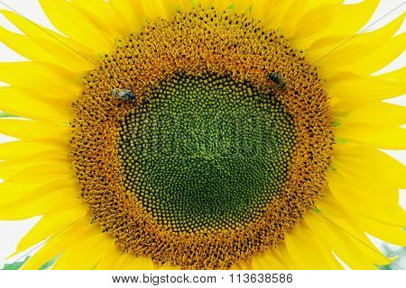 Two Bees Collect Pollen On Sunflower
