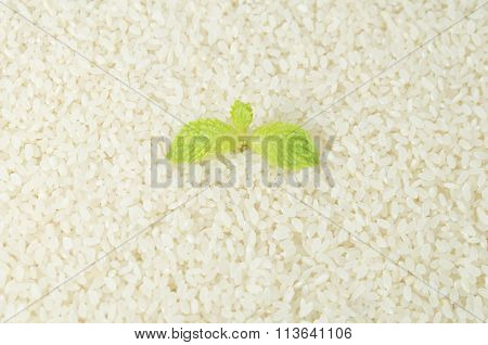 Raw Japanese Rice Grains With Mint Leaves