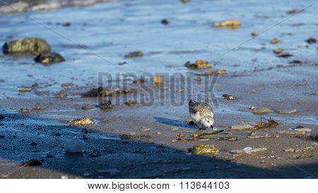 Sanderling Foraging Beach