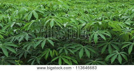cassava farm cassava, outdoor, tree, natural,green,landscape