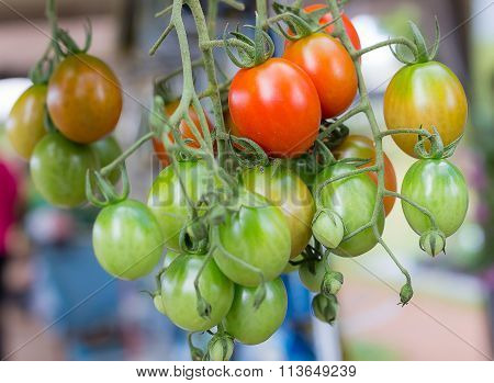red tomatoes red tomatoes fresh from the tree red tomato varieties Hon Island Tomatoes grown in Thai