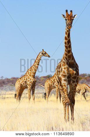 Group Of Giraffes