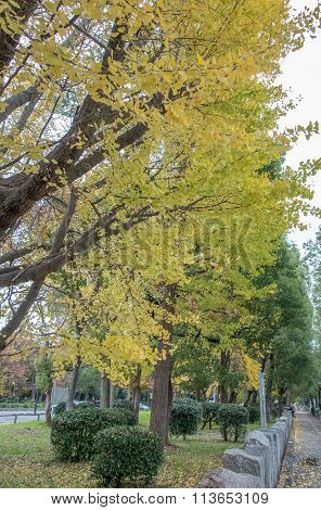 view of yellow ginkgo trees in a park, Japan