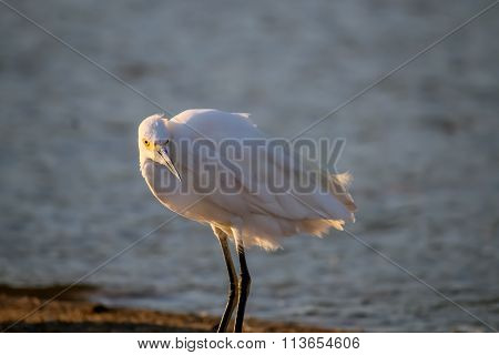 The Snowy Egret At Malibu Lagoon In September