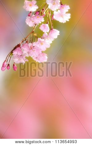 Spring flower with pinkish background