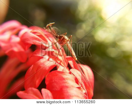 Mosquito On Red Flower
