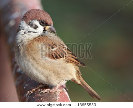House Sparrow in japan or The Eurasian Tree Sparrow (Passer montanus) juvnile in Japan