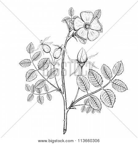 Plant Briar. Stock Illustration.
