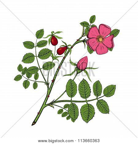 Rosehips. Stock Illustration.