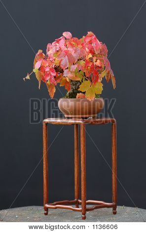 Boston Ivy Bonsai