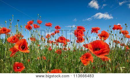 poppy flowers 3