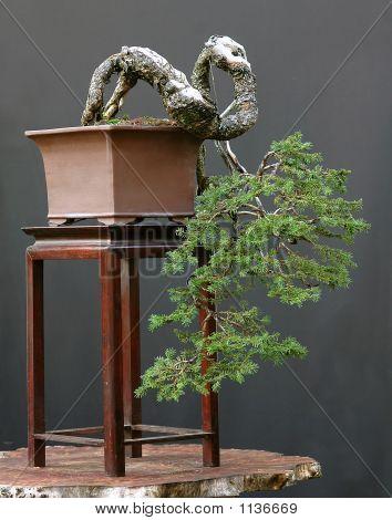Spruce Bonsai Cascade
