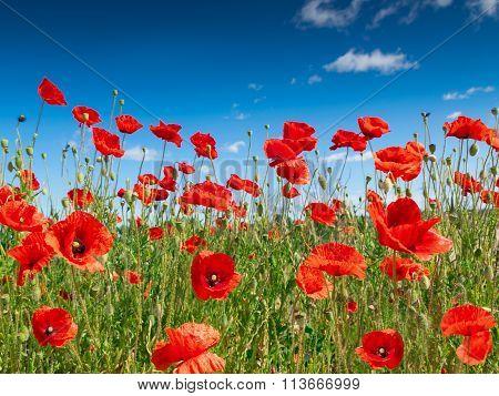 poppy flowers2