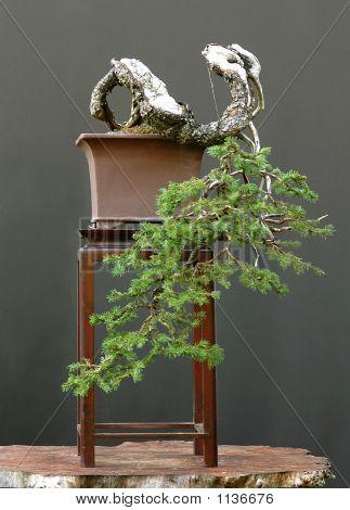 Spruce Cascade Bonsai