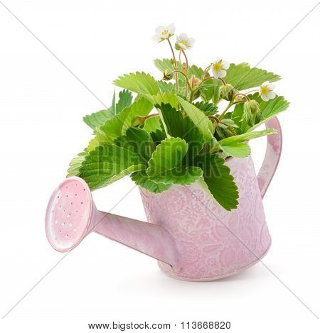Leaves, Flowers And Immature Fruit Of Strawberries In A Watering Can