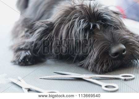 Schnauzer Dog Puppy Lying On The Grooming Table