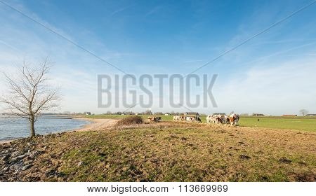 Riverside With Red Holstein Cows