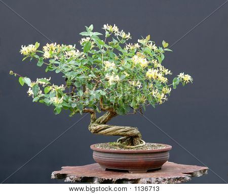 Honeysuckle Bonsai In Bloom
