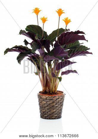 Eternal Flame Flower (calathea Crocata Orange) In Flowerpot On White Background. Calathea Crocata Is
