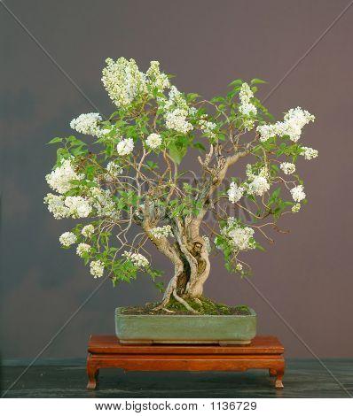 Lilac Bonsai In Bloom