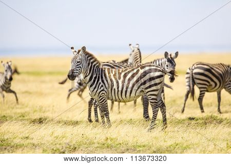 Zebras standing at the vast plains in Serengeti
