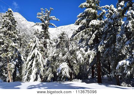 Rural mountain pine forest blanketed in snow taken in Mt Baldy, CA