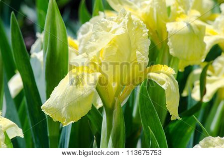 bright yellow iris flower macro