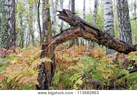 The Felled Birch, Fern In Mixed Forest