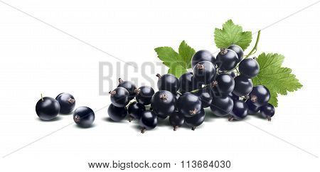Black Currant Branch Fresh Isolated On White Background