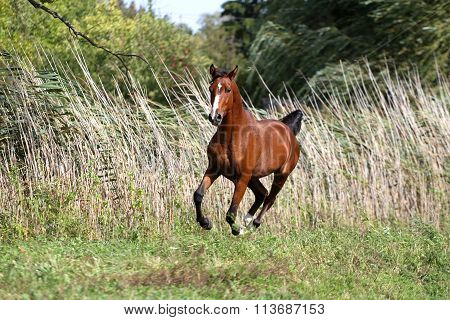 Thoroughbred Young Stallion Canter On Summer Meadow