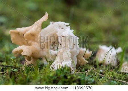 White saddle fungus (Helvella crispa)