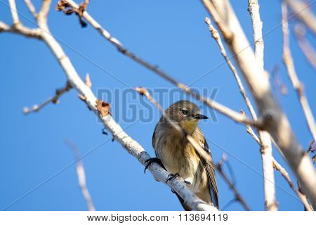 The Female Yellow-rumped Warbler Perching On The Tree