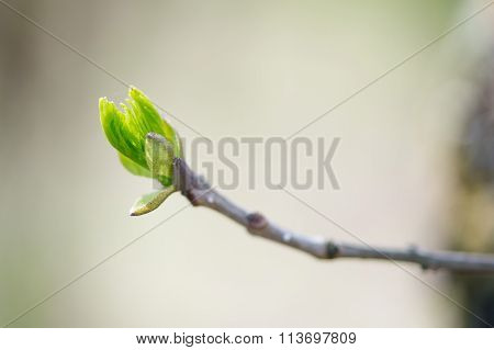 Budding Branches In The Spring - Selective Focus