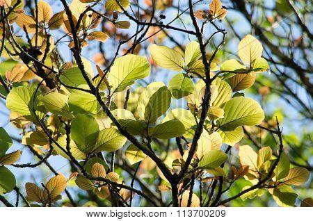 Green Leaf Background And  Blue Sky.