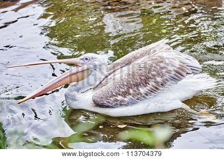 Grey-white Pelican In Nature(pelecanus Erythrohynchos).