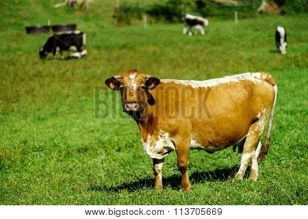 French Cows On Green Field Pasturage