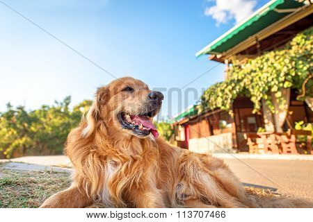 Picture Of A Golden Retriever.