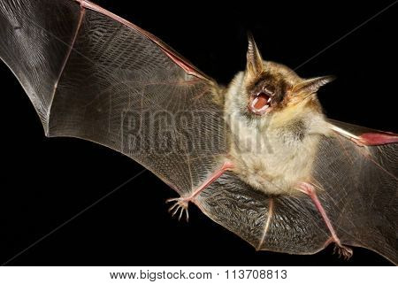 Greater Mouse-eared Bat Isolated In Black