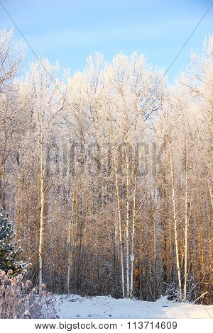 white birch branches with white frost