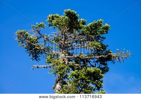 Single Pinetree On Blue Sky Background