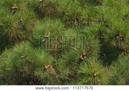Many Twigs Of Black Pine As Nature Background.