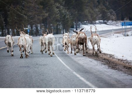 Reindeer flock in the way at road