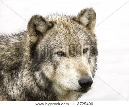 Wolf Head Shot Isolated