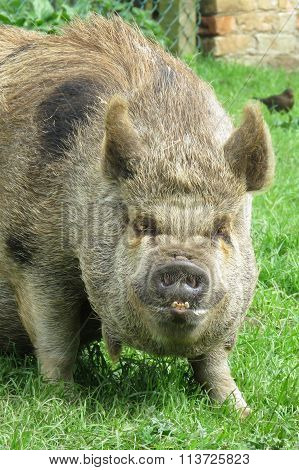 Brown pig with comical  face